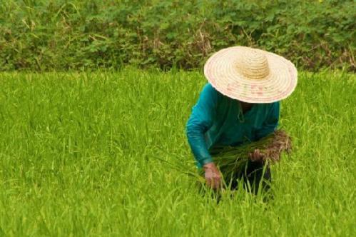 Reisfeldarbeiter auf Langkawi - Reisefoto von dooley1
