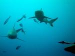 Palau - Hai-times, © TripAdvisor
