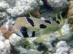 Kugelfisch, © TripAdvisor