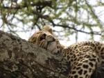 Tansania_leopard-in-tree-in-serengeti, ©TripAdvisor
